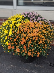 FALL MUM from Sidney Flower Shop in Sidney, OH