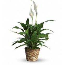 6IN PEACE LILY IN BASKET from Sidney Flower Shop in Sidney, OH