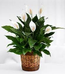 12IN PEACE LILY from Sidney Flower Shop in Sidney, OH